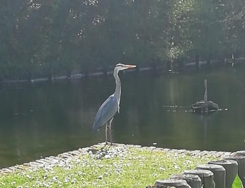 Un jeune héron s'est posé près du plan d'eau au parc du fort Louis